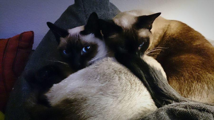 Cats 🐱 Siamesecats Thai Thaicats