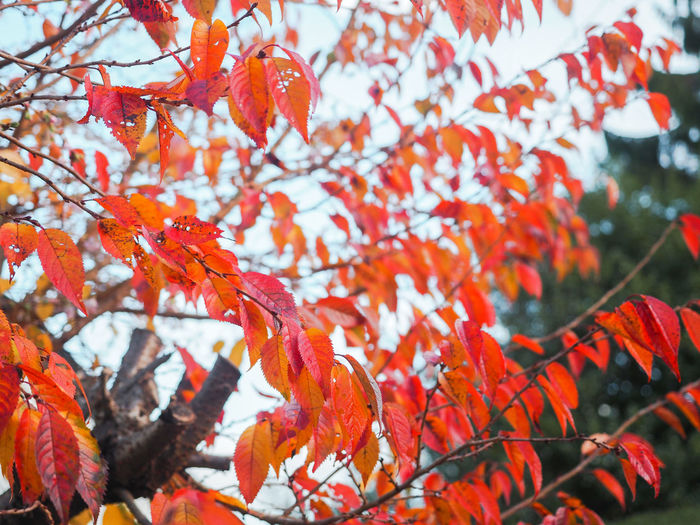 Autumn colours Plant Autumn Tree Change Orange Color Branch Beauty In Nature Growth Plant Part Leaf Day No People Focus On Foreground Close-up Nature Outdoors Red Leaves Maple Leaf Autumn Collection Natural Condition Autumn Mood