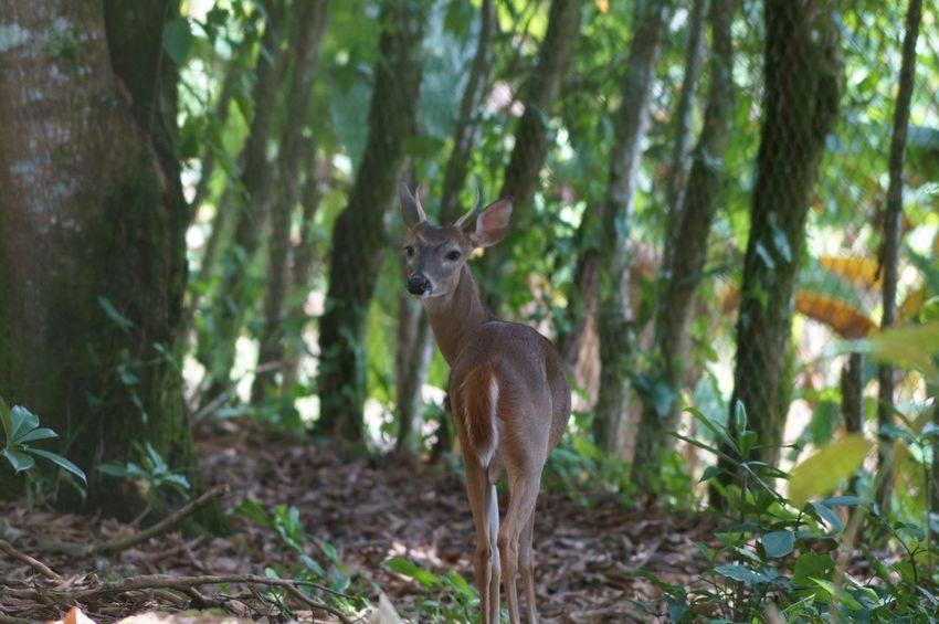 Venado Animales Vida Salvaje Bosque Jardin De Dios Tapijulapa, Tabasco