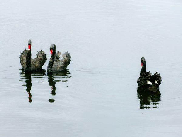 Black Swans in Perth Australia Birds Water