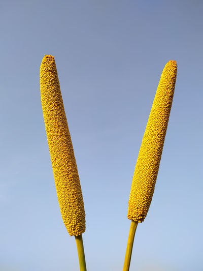 Low angle view of yellow crops against clear blue sky