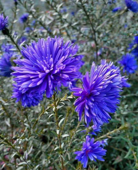 Purple Fragility Flower Head Miniaster In Blue Outdoors Beauty In Nature