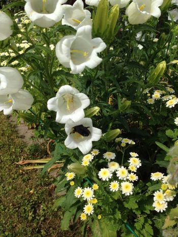 Blaue Holzbiene Holzbiene Bee Fly Bellflower Flower Wood Bee Insect Flying Bee Violette Bee Xylocopa Xylocopaviolacea Black Bee Glockenblume