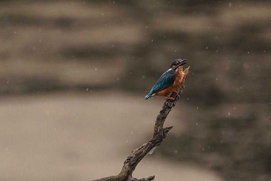 Kingfisher in the Rain Northamptonshire Rushden Birds_collection Bird Photography Birds Of EyeEm  Wildlife Wildlife & Nature Naturelovers Nature_collection Nature Raining One Animal Bird Animal Wildlife Animals In The Wild Animal Themes Perching Nature Kingfisher Outdoors Beauty In Nature Water Branch