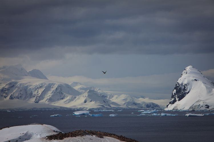 Distant view of skua hovering over penguin colony at antarctica