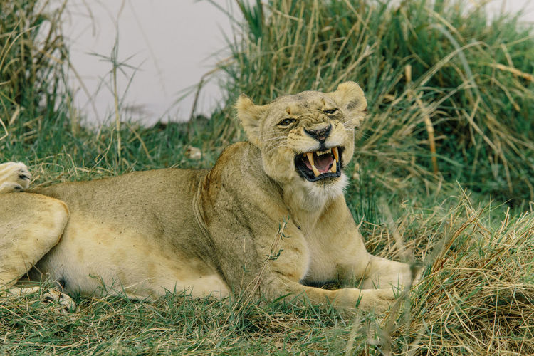 Lion relaxing on grass
