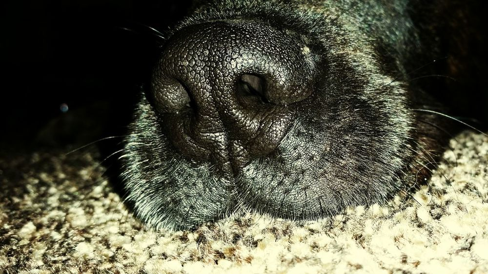 Spürnase Indoors  One Animal Hund Hundefotografie Hundenase Hundeleben Relaxing Entspannung Müde? Riechen