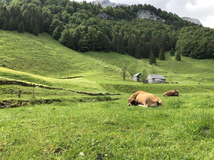 Sheep grazing in a field