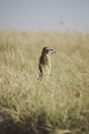 Meerkat Standing On Field Against Sky On Sunny Day