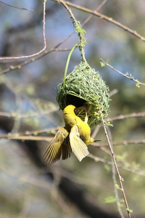 Weaver bird building a nest Namibia National Park Nature Travel Weaverbird Nest Africa African Nature Beauty In Nature Discover Africa Etosha Explore Nest Nest Building Outdoors Safari Safari Animal Safari Animals Weaver Weaverbird Wildlife