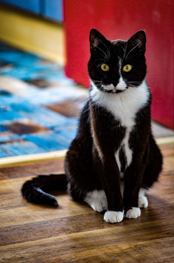Mausi Black And White Cat Pets Sitting Portrait Domestic Cat Feline Looking At Camera Yellow Eyes Close-up At Home Kitten Adult Animal Home Cat Zoology Animal Face