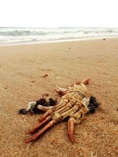 Crab Dead Crab