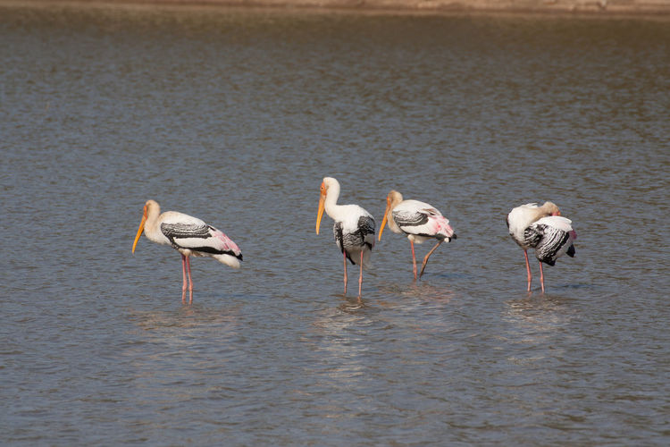 Storks perching in lake