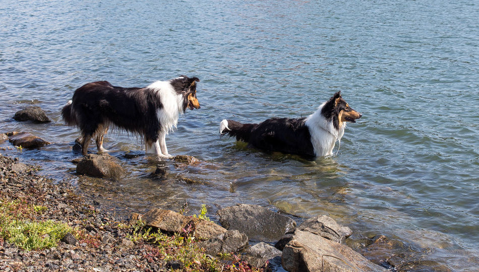Molly and Kendza are sisters, They are so sweet to each other, and I LOVE them so much. Here we was walking by the sea, just outside Gothenburg. Collie Collies Dog Doglover Dogs Free Spirit Havingfun Lassie Love Love Is Not Just A Verb, It's You Looking In The Mirror Love Lovely Sun Don't Worry Be Happy Playtime Sisters ❤ Befree ❤️ Collie #roughcollie #photooftheday #cute #dogsofinstagram #bordercollie #igers #poser #saturday #happiness #dogstagram #bluemerle #dog #welshcollie #lovedogs #bordercollies #ig #igdaily #potd #picoftheday #happy #love Summer Dogs Happy Time Pets Swimming Time Animal_collection Summer ☀ Animal Themes