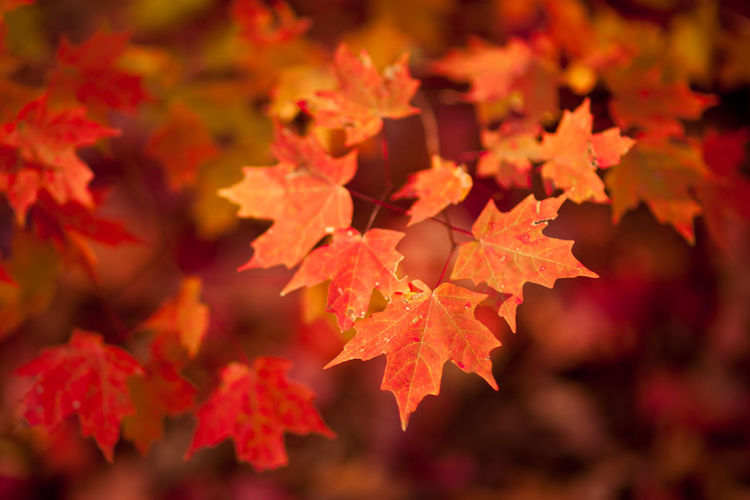 Close-up of maple leaves during autumn