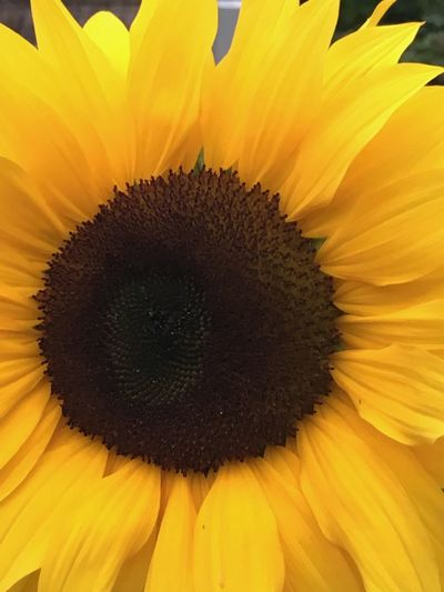 Berlin Love Beauty In Nature Blooming Flower Flower Head Fragility Full Frame Outdoors Petal Plant Seed Head Sunflower Yellow