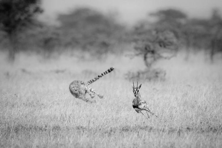 Mono cheetah chasing thomson gazelle in thorns
