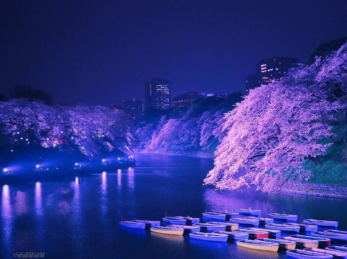 Yozakura Illumination Cherry Blossoms Water Reflections Night Lights Nightout Pink Flower Boat Spring Landscape Introducing Culture Of Japan Which Must Be Left To The Future…… 未来に残す日本の文化 A Day Of Tokyo Flowers, Nature And Beauty Urban Spring Fever Urban Nature EyeEm Best Shots Check This Out Nightphotography EyeEm Nature Lover EyeEm Gallery EyeEm Best Shots - Nature Urban Landscape Light And Shadow View Nature