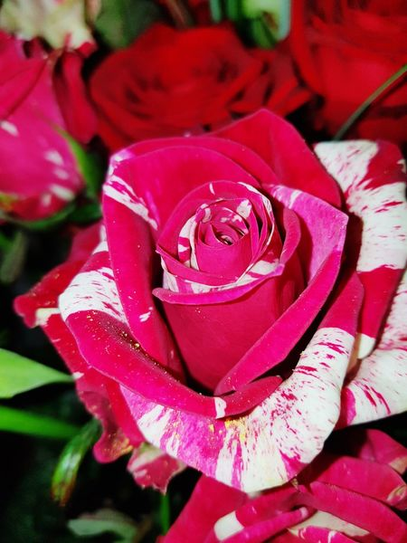 Flower Rose - Flower Red Nature No People Flower Head Day Beauty In NatureRed Rose Redwhite Redwhite Rose Freshness Rose🌹 Roses Flowers  Roses Flower Collection Flowers Red Rose Be. Ready.