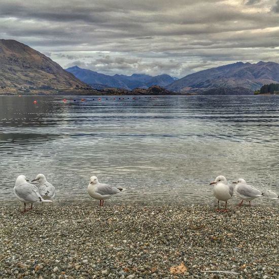 Wanaka Lakeview Early Morning Beach Beachphotography Lake Seagulls At The Lake Seagulls Showcase March