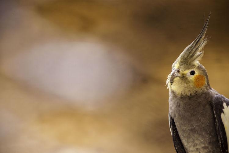 Animal Photography Animal Wildlife Cuckatoo Animal Animals In The Wild Light Feathers Bird