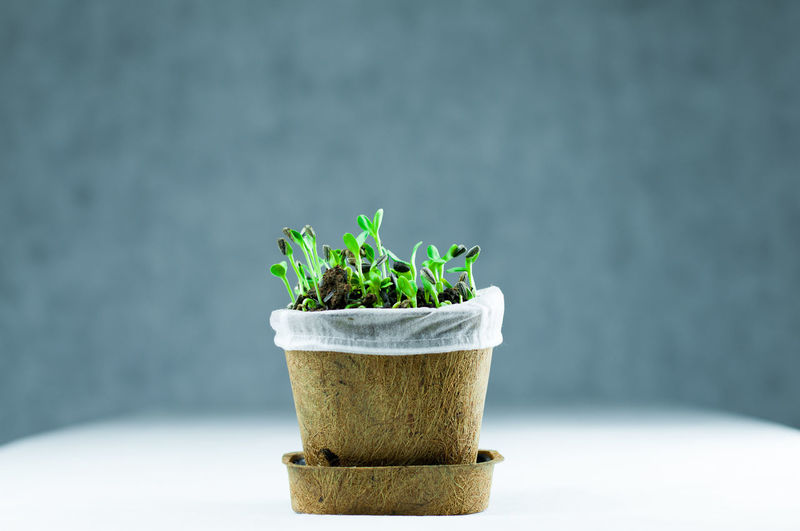 Organic New Born Sunflower Sprouts Growing on Black Soil in a Pot Made from Plant Fiber in White Background Isolated Backgrounds Beginnings Botany Close-up Fresh Freshness Gardening Green Growth Healthy Eating Herbal Isolated Leaf Nature New Born No People Organic Plant Seeds Soil Sprout Sunflower Vegetable White Young