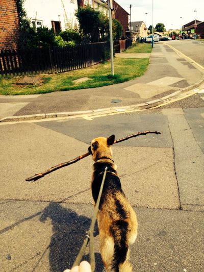 Oh right, big enough stick there? Dog Stick Love Walkies