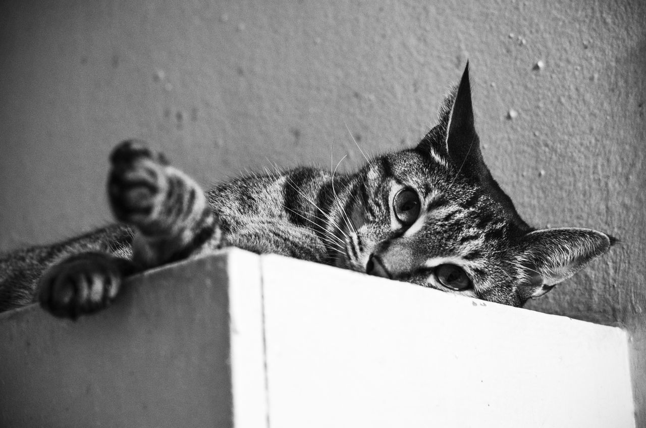 domestic cat, animal themes, mammal, domestic animals, pets, one animal, feline, indoors, no people, relaxation, day, close-up