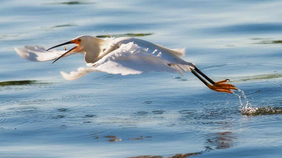 Close-up of snowy egret hunting fish over lake