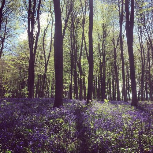 Beauty In Nature Bluebell Bluebell Wood Bluebells Britain Countryside Day England Flower Forest Growth Landscape Nature No People Outdoors Plant Scenics Springtime Tranquil Scene Tranquility Tree Tree Trunk Uk Woodland Path
