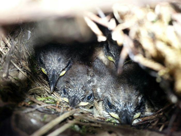 Wren Chicks Nesting