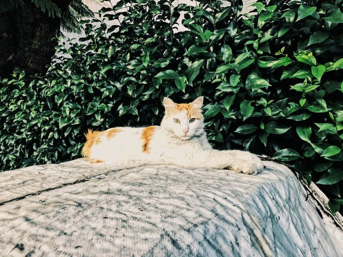 Feline Domestic Cat Mammal One Animal Animal Themes Day Lying Down Plant Pets Domestic Animals Portrait Outdoors Sitting Looking At Camera Relaxation No People Nature First Eyeem Photo