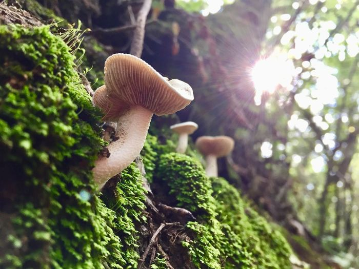 Plant Growth Mushroom Fungus Nature Green Color Tree Moss Beauty In Nature Close-up Day Vegetable Sunlight No People Food Forest Selective Focus Lens Flare Land Toadstool Outdoors Bright Brightly Lit