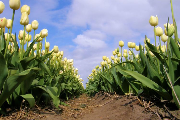 Beauty In Nature Cloud - Sky Day Field Flower Flower Bulbs Freshness Growth Holland Nature No People Outdoors Plant Sky Tulip Tulip Field Tulips Yellow Perspectives On Nature
