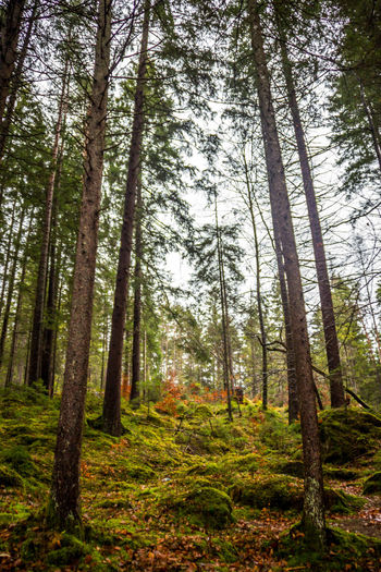 Forest Tree Land Plant WoodLand Tree Trunk Trunk Beauty In Nature Nature Non-urban Scene Day Tranquility No People Growth Scenics - Nature Environment Pine Tree Pine Woodland Tranquil Scene Landscape Outdoors Coniferous Tree