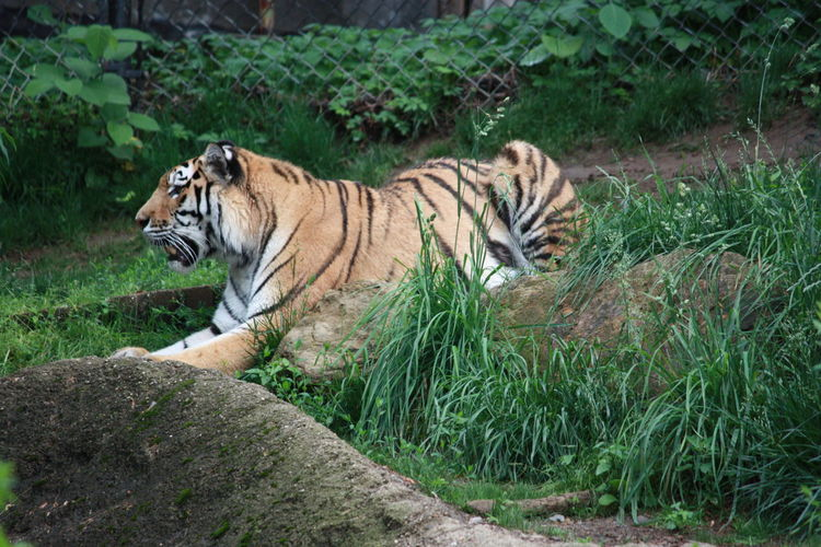 Tiger Relaxing On Field At Zoo