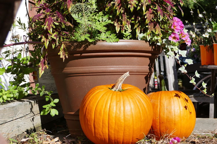 Pumpkins on potted plant in yard