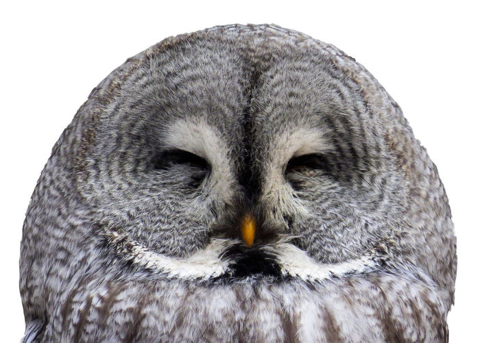 Close-up portrait of owl against white background