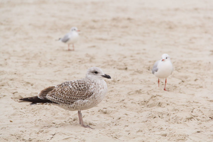 Animal Themes Animals In The Wild Baltic Sea Beak Birds Coast Day Golden Ratio Gulls Nature No People Outdoors Relaxing Rule Of Thirds Sand Sandy Seagull Seagulls Seagulls And Sea Sunset Three Animals Togetherness Wildlife Zoology