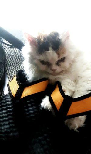 Cats Cats 🐱 Catsagram Cirratus Plüschig Schuhe Und Katzen Selkirkrex Selkirk Selkirk Rex Latschen