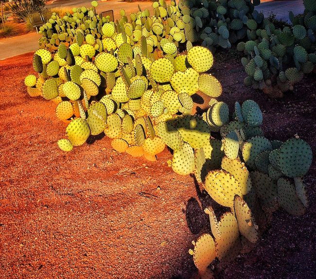Abundance Arizona Arrangement Cacti Close-up Direct Light Elevated View Green Color Growth Large Group Of Objects Nature No People Outdoors Plant Propogation Thorns And Beauty Colour Of Life Adapted To The City