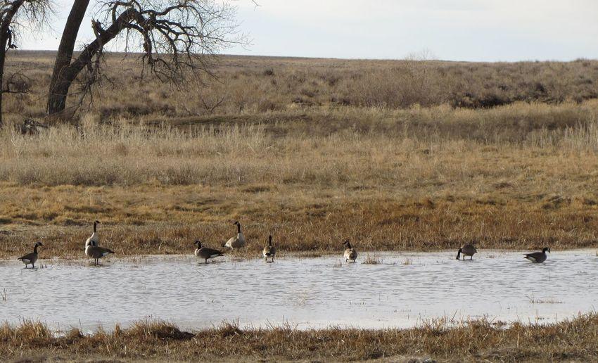 Canada geese at lake