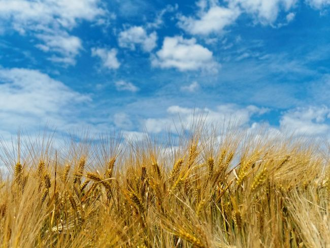 Agriculture Beauty In Nature Cereal Plant Claudetheen Close-up Clouds Crop  Field Growth Landscape Nature Sky Sky And Clouds Summer Wheat
