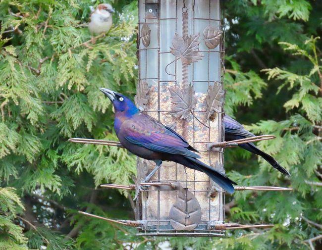 Grackle in the bird feeder birdwatching birds of EyeEm animal themes beauty in nature outdoors Bird Animal Wildlife One Animal No People