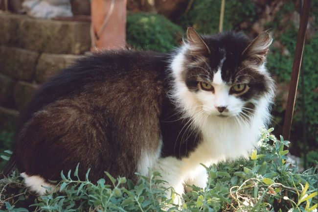 Slash thhe longhair kitty in back yard Animal Themes Bicolor Close-up Country Country Life Curious Animals Curious Cat Curiousity Curiousmoments Day Domestic Animals Domestic Cat Feline Grass Green Eyes Green Eyes! Long Hair Longhair♥ Mammal Nature No People One Animal Outdoors Pets Wary