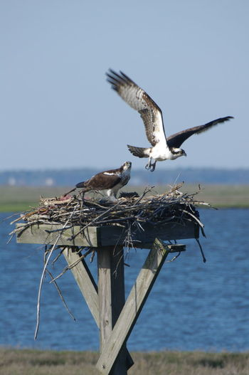 Animal Themes Animals In The Wild Beak Bird Clear Sky Day Flying Nature Nest No People Ocean Osprey  Osprey Nest  Ospreys Nest Outdoors Perching Sea Spread Wings Water Wildlife Wildlife & Nature Wildlife Photography