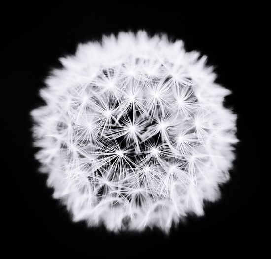 Dandelion Fairies Flower Black And White Dandelion Fairies Seeds Make A Wish Round Delicate Macro
