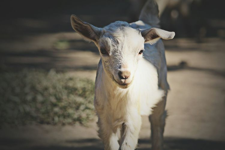 Portrait of kid goat on field