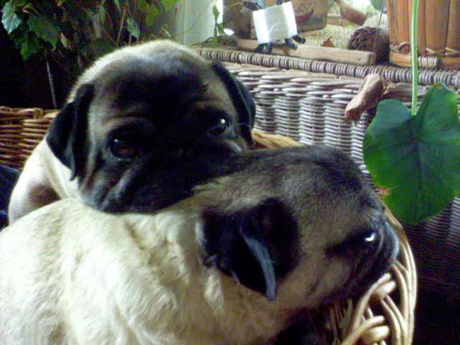 Pug love Pug Pugs Puglover Pug Life  Pugslife Dog Portrait Dogs Life Ireland