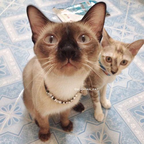 ขอปลาทูหน่อยยย ?? Siamese Siamesecat Cat Neko #kitty #meow #thailand First Eyeem Photo